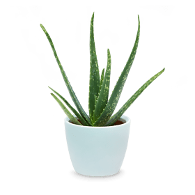 "Aloe Vera ""Fresh Breeze"""