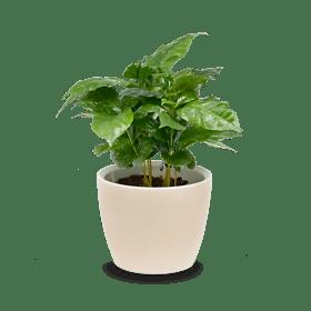 """Coffee plant """"Energy"""""""