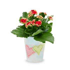 "Kalanchoe ""Faithful"""