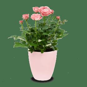 """Pot Rose """"Charming"""""""